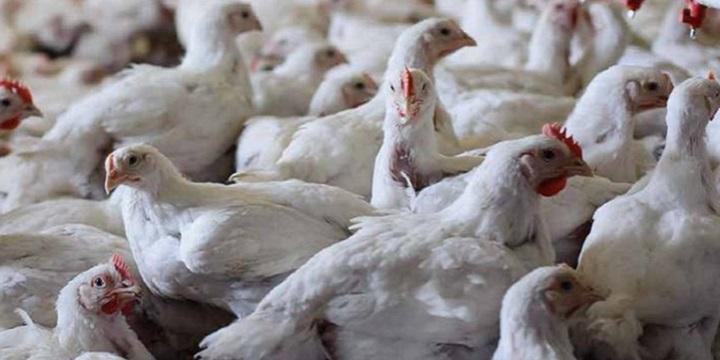 Eficacia del Liverin NFC en el cuidado del hígado de aves y cerdos