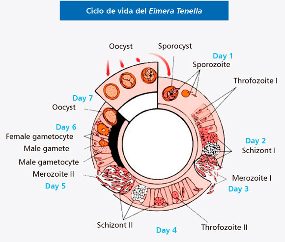 ciclo-vida-eimera-tenella.jpg