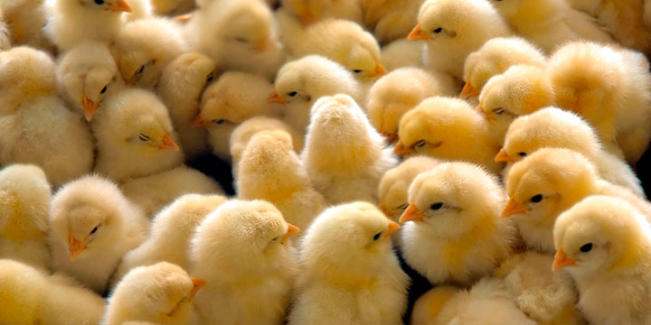 Tipos-infeccion-parasitaria-aves-corral.jpg
