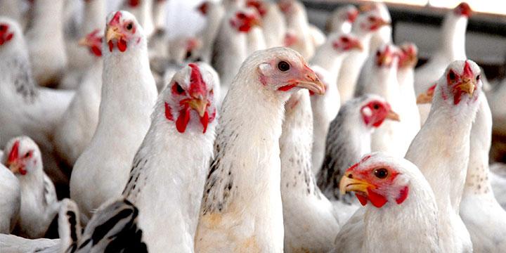oregano-pollos-saludables-libre-enfermedades