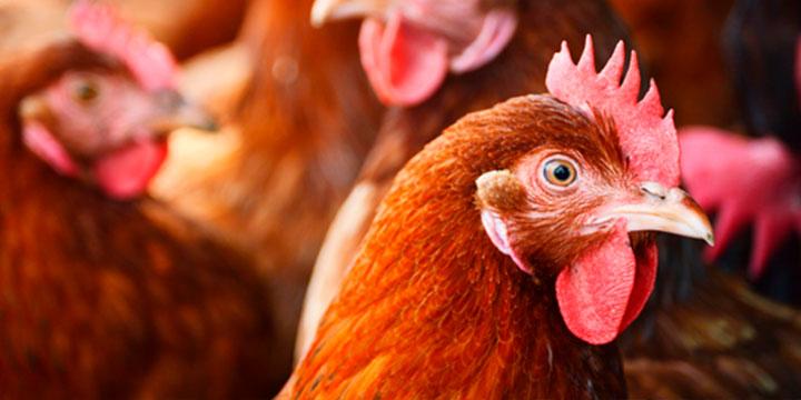 ambiente libre para prevenir enfermedades en aves