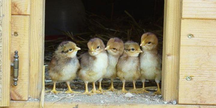 cuidar-crias-aves-corral.jpg
