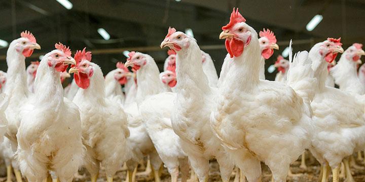 6 factores que causan estrés en las aves de corral (parte I)