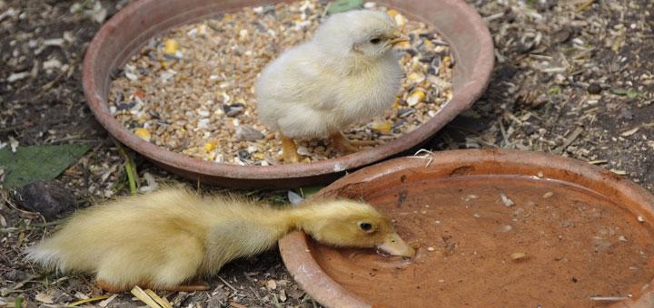 alimentacion-de-las-aves-de-corral