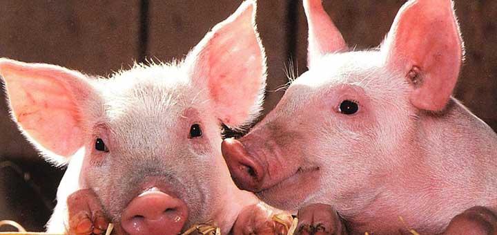 cerdos-sin-epidermitis-exudativa-porcina