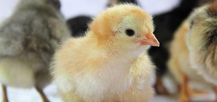 Los pollos necesitan enzimas digestivas