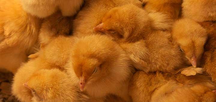 Las enzimas digestivas son importantes para que el pollo llegue al tamaño deseado