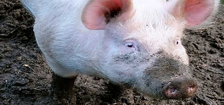 evitar-epidermitis-exudativa-porcina.jpg