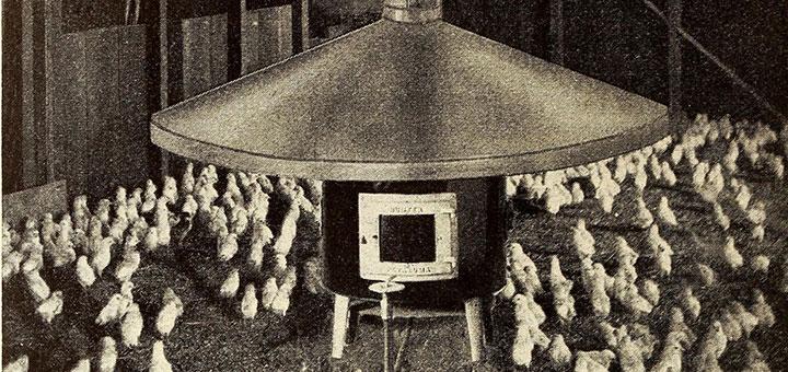 pollo-broiler-incubacion