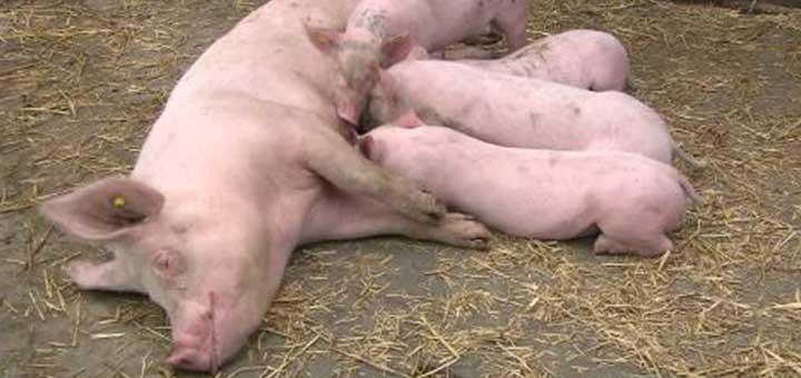 La higiene evita la Coccidiosis en cerdos