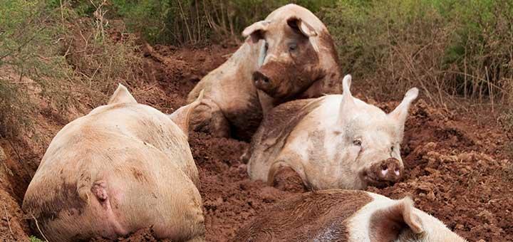 Coccidiosis en cerdos: Síntomas, transmisión y prevención