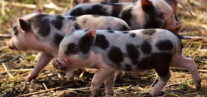crianza-de-cerdos-2