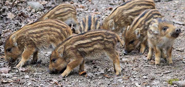 crianza-de-cerdos-5