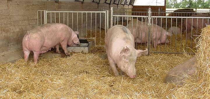 Todo sobre la crianza de cerdos