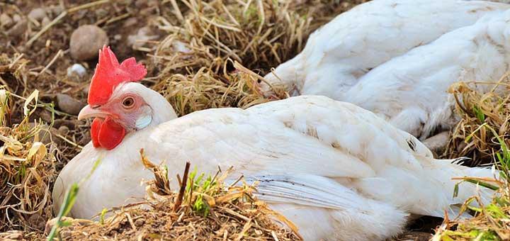 Enteritis necrótica en pollos broiler