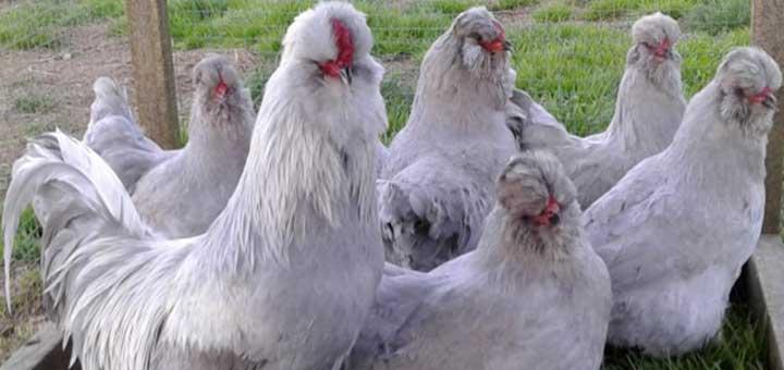Variedad de aves comerciales