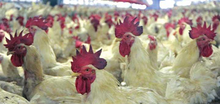 La bioseguridad en la producción de pollo broiler