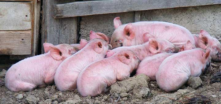 crianza-cerdos-bioseguridad-1