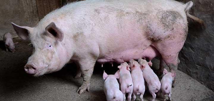 Crianza de cerdos y bioseguridad