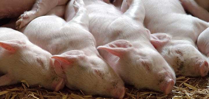 crianza-cerdos-bioseguridad-3