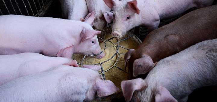 La crianza de cerdos y la bioseguridad