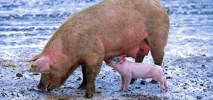 crianza-cerdos-1