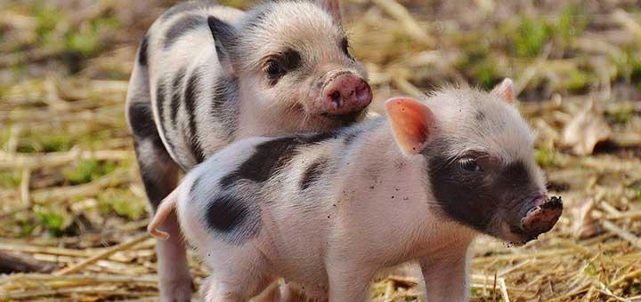 crianza-cerdos-2
