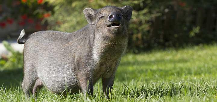 crianza-cerdos-3