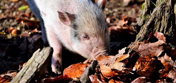 erisipela-porcina-1