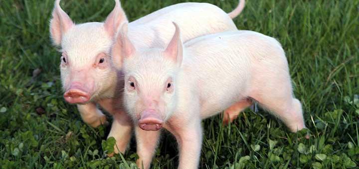 Las enfermedades entéricas afectan a los cerdos