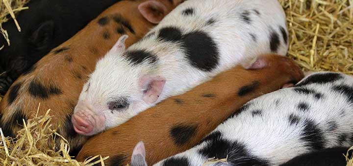 Salud en las granjas porcinas