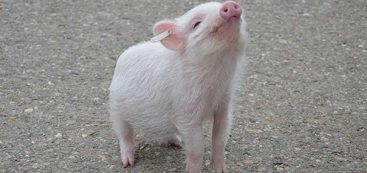 crianza-cerdos-salud