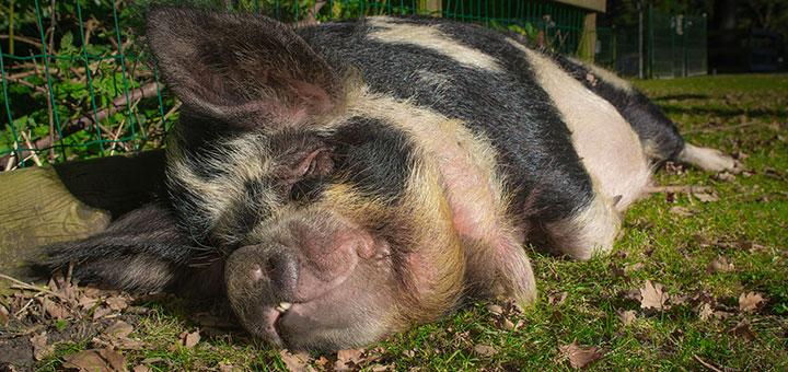 Síndrome respiratorio y reproductivo en cerdos (PRRS)
