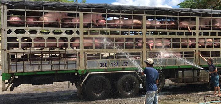 transporte-cerdos