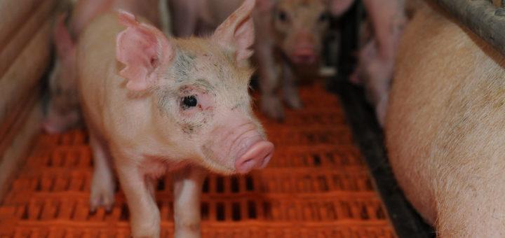 Diagnóstico Virus influenza porcina (SIV):