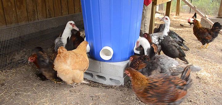 alimentador-pollos-engorde