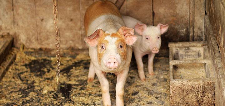 enzimas-digestivas-cerdos-produccion