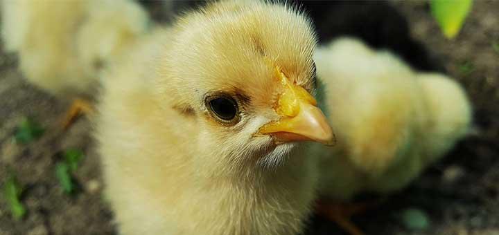 higado-pollo