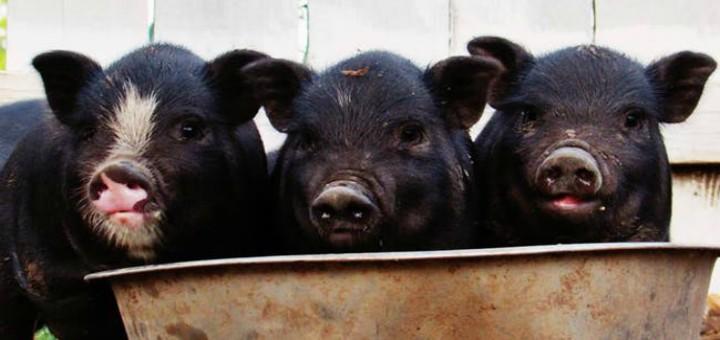 Importancia de los inmunoestimulantes en la producción pecuaria de pollos y cerdos
