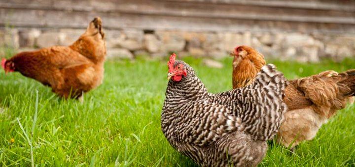 produccion-pecuaria-avicola