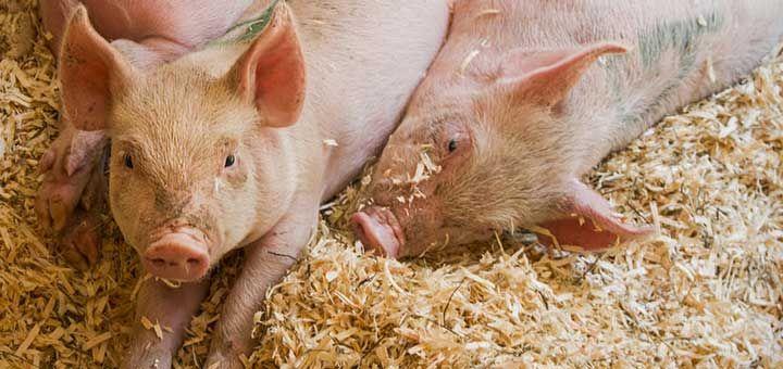 produccion-pecuaria-porcina