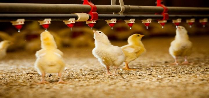 Consejos para alimentar a los pollos broiler y los galpones climatizados para su crianza