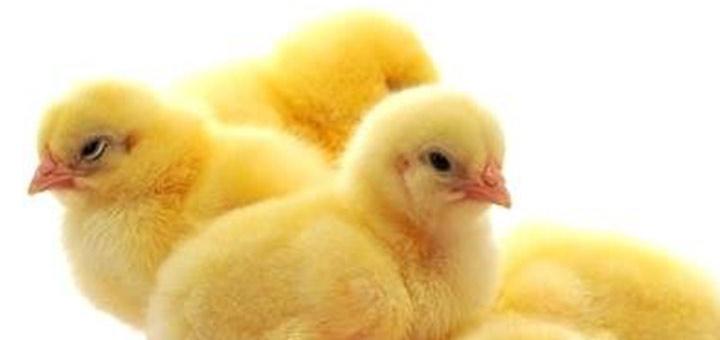 6 puntos para una buena salud intestinal en los pollos