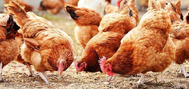 Biomarcadores para el control de la salud intestinal en pollos
