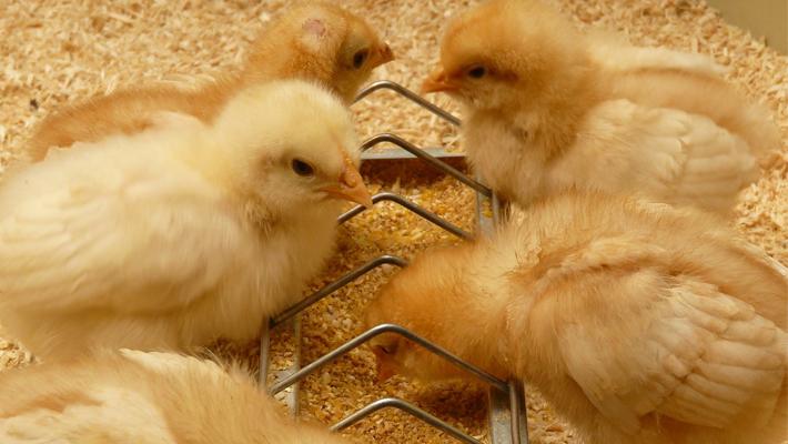 ¿Qué efectos tiene el aceite esencial de orégano sobre el estado antioxidante de los pollos?