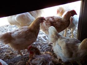 13-12-3-alimentacion-de-pollos-1-el-sitio-avicola.jpg