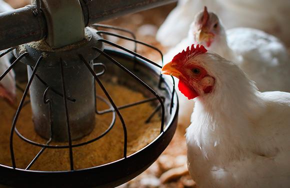 Evaluación de una estrategia para el control de la coccidiosis en pollos de carne