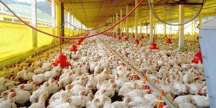 Las enfermedades más comunes en los pollos de engorde