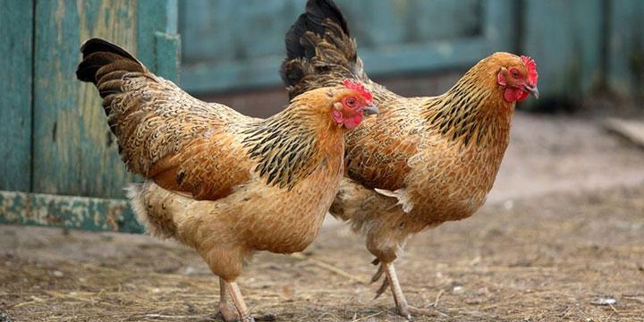 6 factores que causan estrés en las aves de corral (parte II)