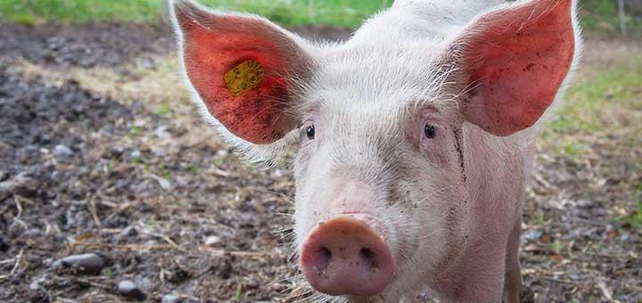 cerdo-enfermo-epidermitis-exudativa-porcina
